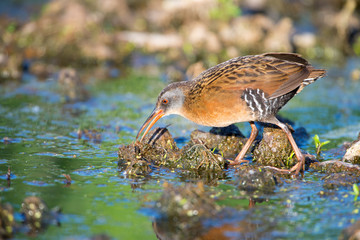 Virginia Rail walking in a marsh