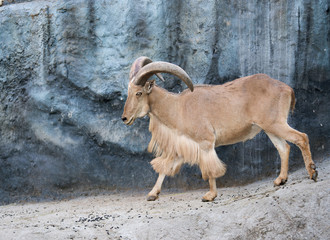 male Barbary sheep (Ammotragus lervia)
