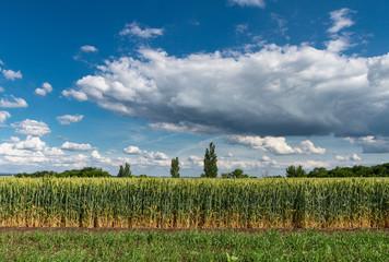 landscape of wheat field in summer