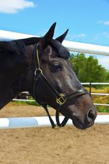 Голова лошади черной масти