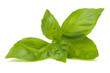 Sweet basil leaves