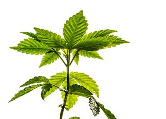 Young Marijuana Plant on White