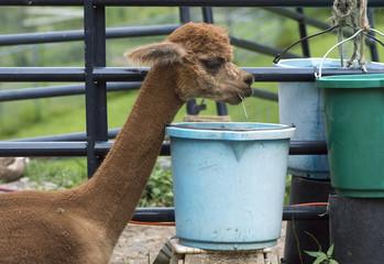 Alpaga qui mange