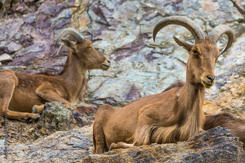Foto op Plexiglas Cyprus West caucasian tur goat in nature.