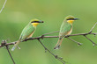 2 Little-Bee Eaters (Merops pusillus) hunting for insects