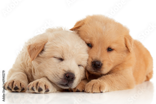 Two cute Chow-chow puppies,  isolated over white background - 69140279