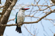 Woodland Kingfisher (Halcyon senegalensis) perched on branch