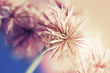 Sedge flower. (Cyperus imbricatus)