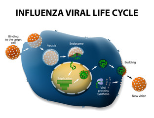 Influenza Virus Replication Cycle