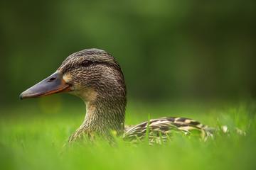 European ducks on a grass
