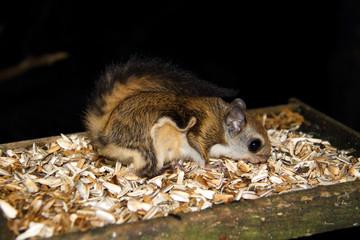 Japanese dwarf flying squirrel (Pteromys momonga) in Japan