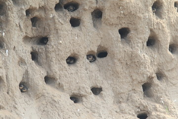 Sand martin's nesting hole (Riparia riparia) in North China