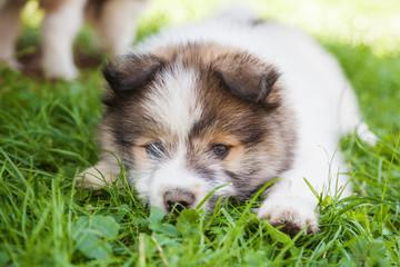 Elo-Welpe mit süßem Blick liegt im Gras