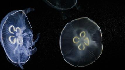 Jellyfishes swimming in aquarium