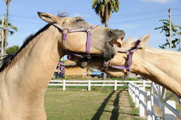 Couple horses in farm
