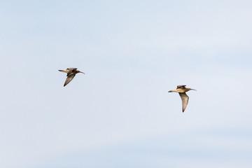 Curlews flying