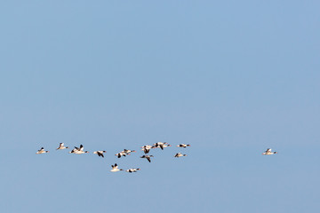 Common shelduck in the sky