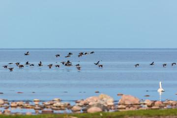 Bird migration with Great Commaran