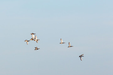 Flock with Gadwall fly