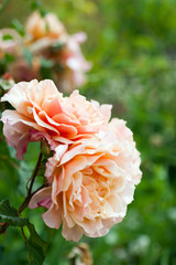 roses on  bush