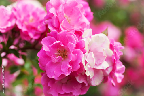 canvas print picture Beautiful roses