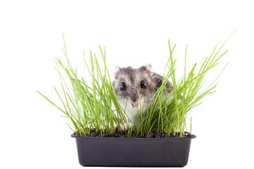 hamster hiding in green grass