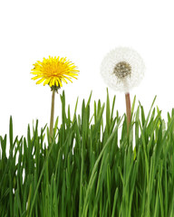 Two dandelion in green grass