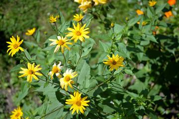 Topinambur Blüten Sommer