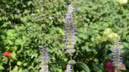Мохнатый шмель на цветке