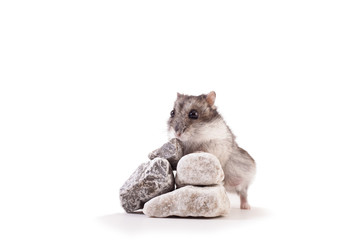Hamster on a rock
