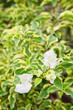 Paper flower white color blossom closeup