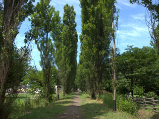 晴天のポプラ並木