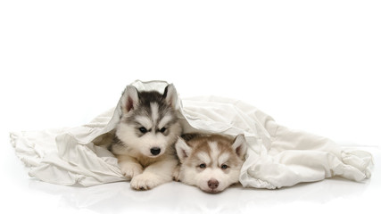 Cute puppy with a white blanket