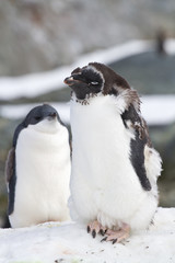 adult moulting Adelie Penguin and the young in the background