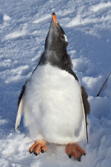 almost completely molted penguin chick Gentoo on snow