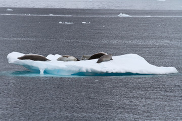 crabeater seals group on the ice in Antarctic waters