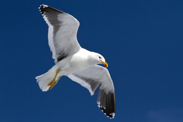 Dominican gull soaring in the blue sky in Antarctica