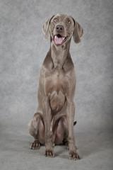 Three years old Weimaraner dog