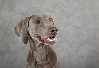 Portrait of three years old Weimaraner dog