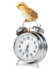 Chick on the Alarm Clock