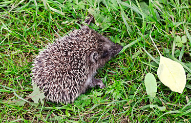 the little hedgehog sits in a grass