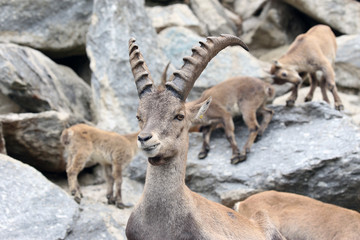 Alpine Ibex or Steinbock