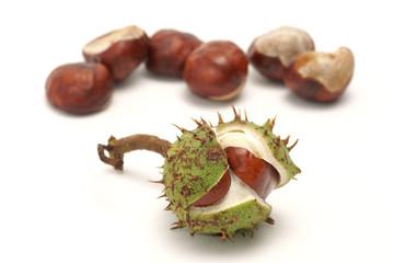 Horse chestnut (Aesculus L.) - fruit