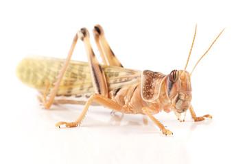 Locust, Desert locust (Schistocerca gregaria)