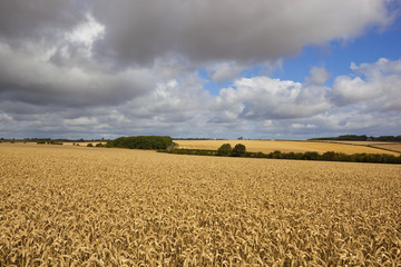 storm clouds over wheat fields