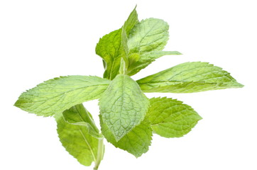 Branch of fresh green mint