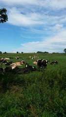 Wiese Kühe
