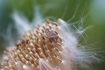 Клоп на семенах цветка