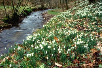 Snowdrop Valley, Exmoor, Somerset,England,UK