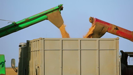 Harvesters are Unloading Grain into the Truck. Close-up